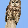 Barred Owl  at Ohio Nature Education