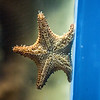Starfish Clinging to Side of Aquarium