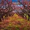 Naramata Peach Blossoms