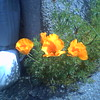 Poppies by the drain pipe