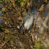Blue-gray Gnatcatcher  Carlsbad 2013 10 30.CR2