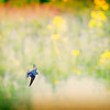 Barn Swallow at E.L. Huie Land Application Facility