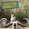 Vervet monkey sitting on the skull of a cape buffalo