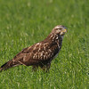 Buteo buteo, Common Buzzard, Buizerd, Buse variable.