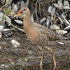 LIGHT-FOOTED CLAPPER RAIL