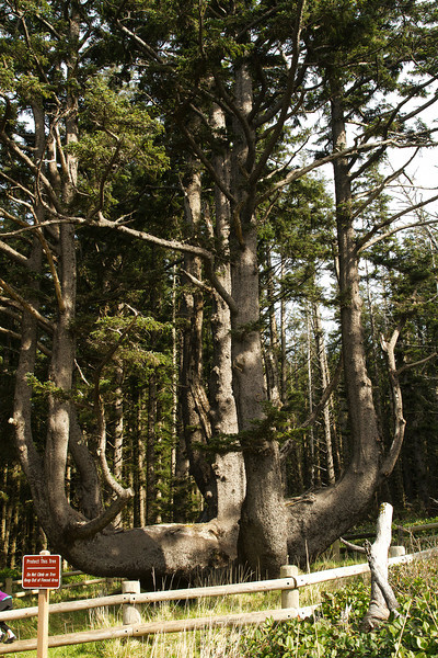 Octopus Tree at Cape Meares, Oregon