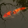 Koi fish at the Portland Japanese Garden, Oregon