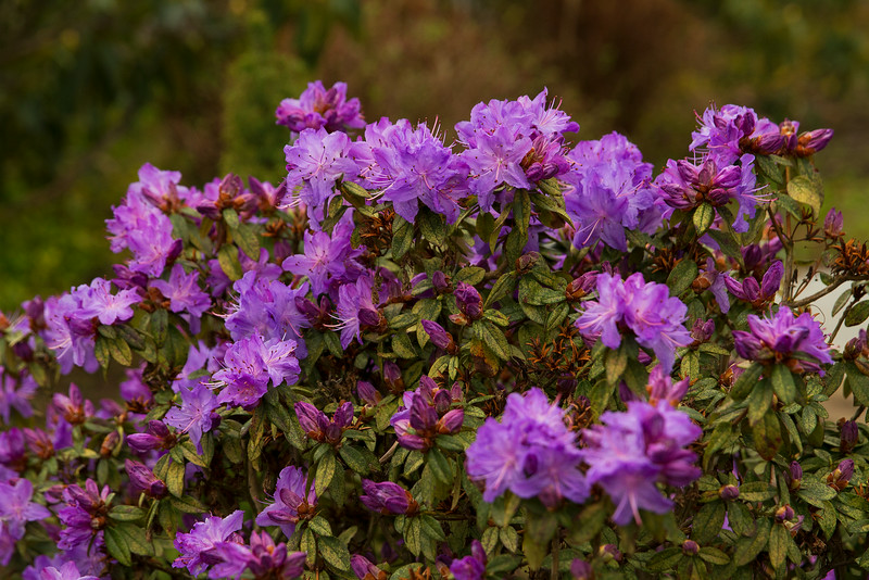 Purple Rhododendron at Oregon Gardens, Silverton