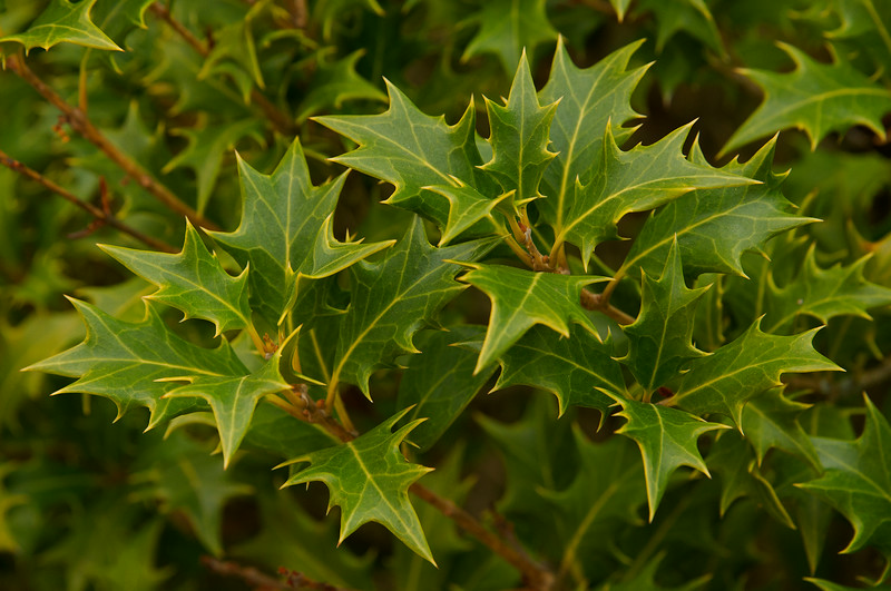 False Holly