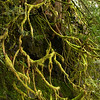 Beautiful moss covered trees in Silver Falls, Oregon
