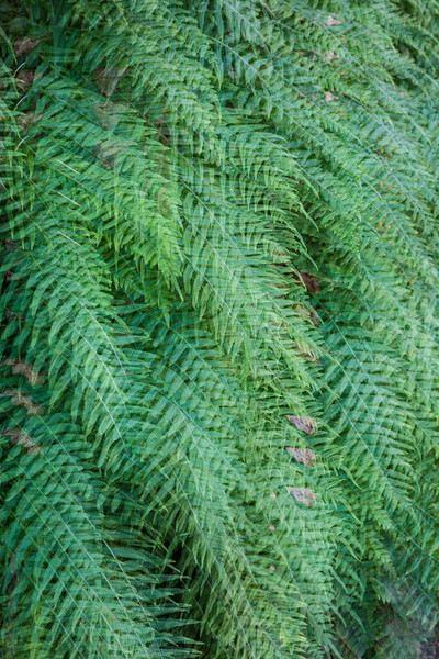 Licorice ferns (Polypodium glycyrrhiza). The fern is also known as many-footed fern, and sweet root. This is an in-camera multiple exposure. Taken in the Columbia River Gorge National Scenic Area, Oregon, USA.