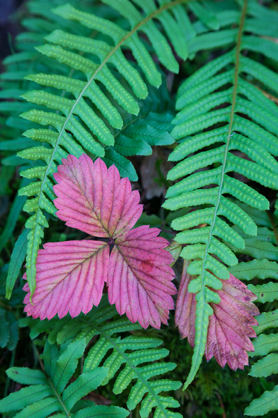 """Draped""<br /> <br /> Licorice ferns (Polypodium glycyrrhiza) and the red leaves of Wood's strawberry (Fragaria vesca). Oregon was good to me! Taken in the Columbia River Gorge National Scenic Area, Oregon, USA."
