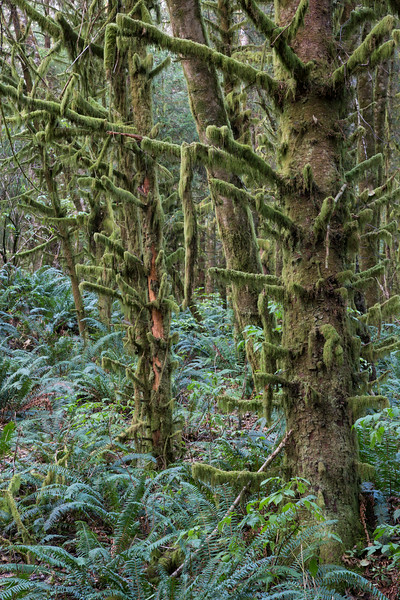 Trees, moss, and ferns in the forest. This is an in-camera multiple exposure. Taken at Ecola State Park, Oregon, USA.