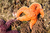Ochre sea stars (Pisaster ochraceus) attached to a sea stack. Taken at Bandon Beach, Oregon, USA.