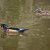 Wood Duck, Lithia Park, Ashland, OR
