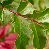 Oregon Grape Leaves, Little Applegate, Jackson CG, RR NF, Oregon