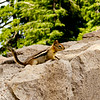 Golden-mantled Ground Squirrel (Spermophilus lateralis) at Crater Lake NP, Oregon