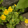 Seep-spring Monkeyflowers, (Mimulus guttatus), Crater Lake NP, Oregon