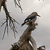 Clark's nutcracker (Nucifraga columbiana) at Crater Lake NP, OR