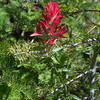 Paintbrush along the Blue Rock Road, Rogue River-Siskiyou National Forest