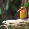 Ruddy Kingfisher March 16, 2014