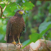 Philippine Serpent Eagle (Spilornis holospilus) Mt. Palay-palay July 24, 201