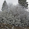 January 31, 2014.  Hoarfrost.  Bean Rock Property, private in-holding at Cascade-Siskiyou NM, Oregon