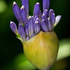 "Agapanthus - ""Lily of the Nile"" (AMARYLLIDACEAE Family)"