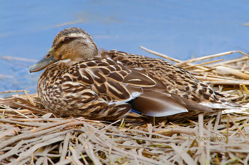 Day 099:- Female Mallard Duck - April 9.  Taken in NJ Meadowlands.