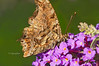 Day 234: Eastern Comma Butterfly - August 26.  Not flashy like some of the other colorful butterflies but the patterns and color nuances are beautiful in their own right to my mind.