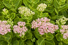 Day 231: Sedum Plant blossoms and Leaves- August 23.  Blossoms just beginning to open on this plant - I liked the pale pink delicacy of the flowers against the bright green of the leaves.