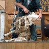 Australia/New Zealand 7b  -Sheep shearing