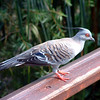 Australia/New Zealand 13- Pigeon1