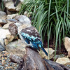 Australia/New Zealand 14- Kookaburra
