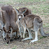 Australian/New Zealand 6a- Kangaroos