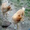 Australian/New Zealand 7c - Dingos