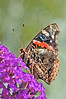 Day 209: Butterfly Red Admiral  - July 30.
