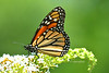 Day 203: Butterfly - Monarch- July 24 edit