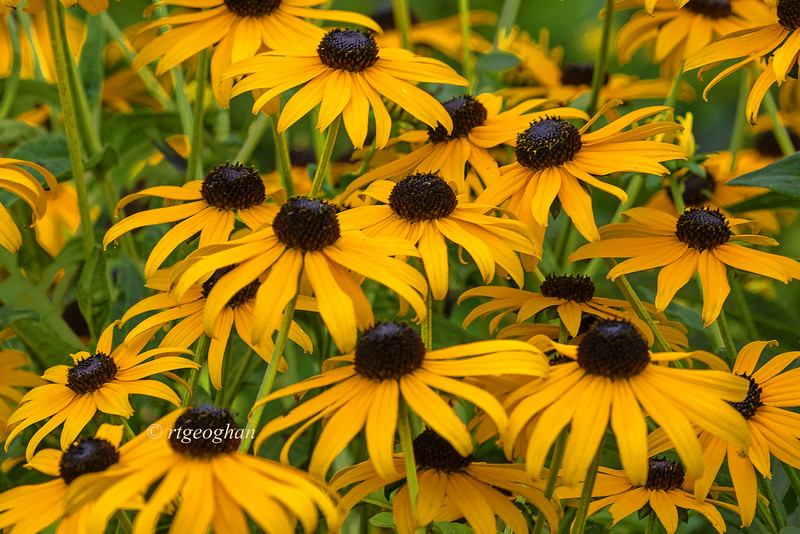 Day 205: Black-eyed Susans - July 26.