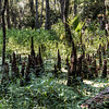 bayou-swamp-roots-2