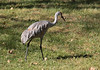 Sandhill Cranes at Kensington Metropark, MI  Young cranes feeding near parking lot of visitors center  Nov. 10, 2013