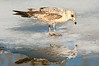 Day 074: Rng-Billed Gull - March 15.  Late afternoon sun on this juvenile Ring-billed Gull and reflection standing on melting ice.