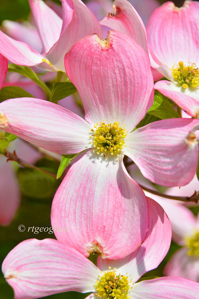 Day 135: Pink Dogwood - May 15. More pink for this week - pink dogwood blossoms.