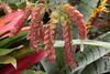 Mathaei Gardens and Conservatory, Univ. of Michigan run, Ann Arbor, MI., May, 2013  Shrimp Plant