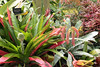 Mathaei Gardens and Conservatory, Univ. of Michigan run, Ann Arbor, MI., May, 2013  Bromeliad and Shrimp Plant