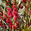 Hakea - multilineata Winter Burgundy