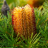 "Banksia Spinulosa, ""Birthday candles"""