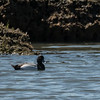 Least Scaup