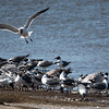 Laughing Gulls at Cook's Beach