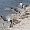 Laughing Gulls at Kimbles Beach
